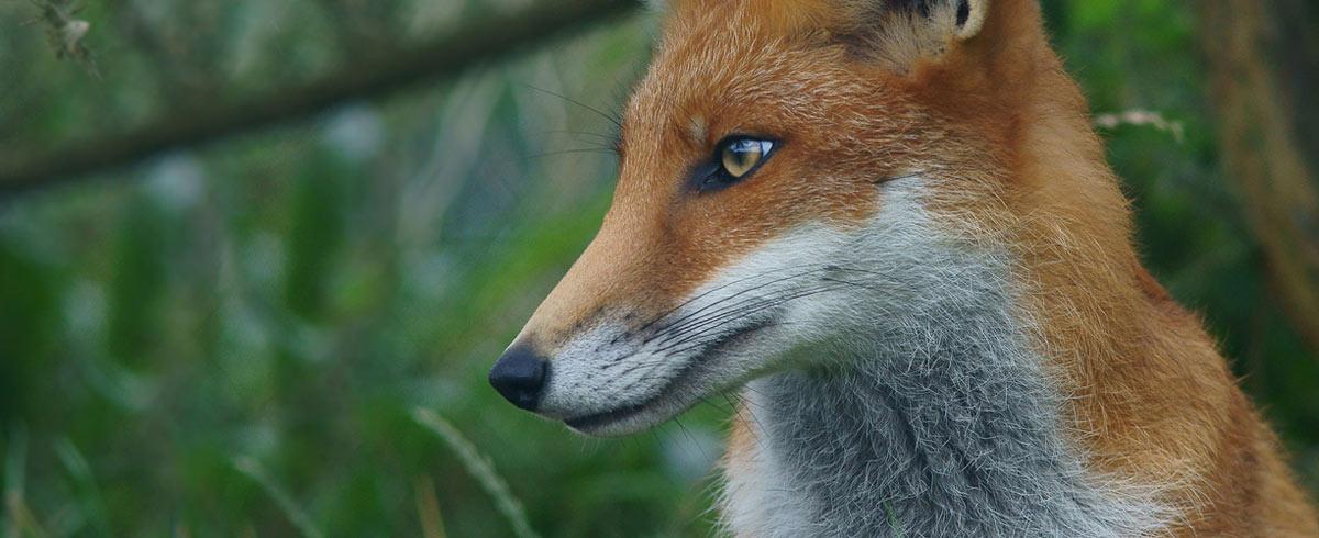 fox-sdf3